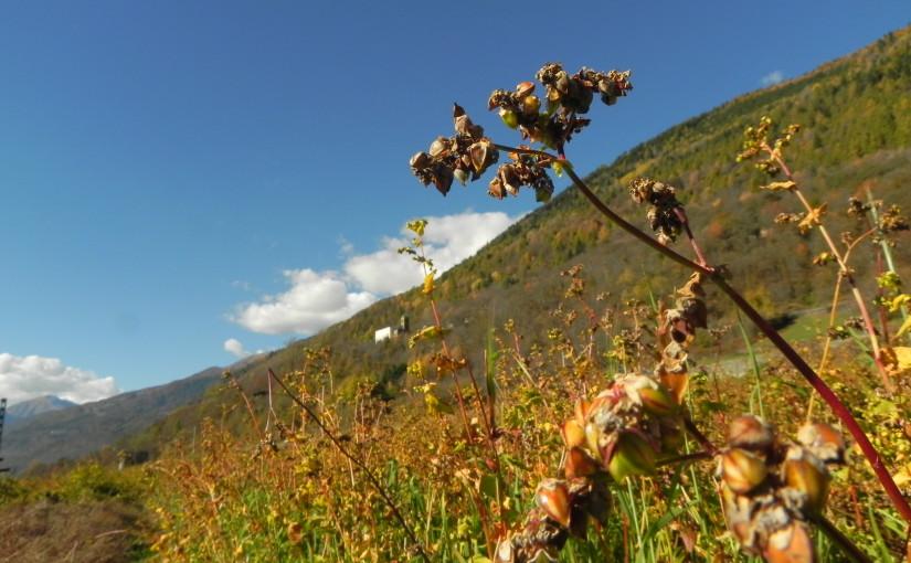 イタリアのソバの実が収穫間近です。