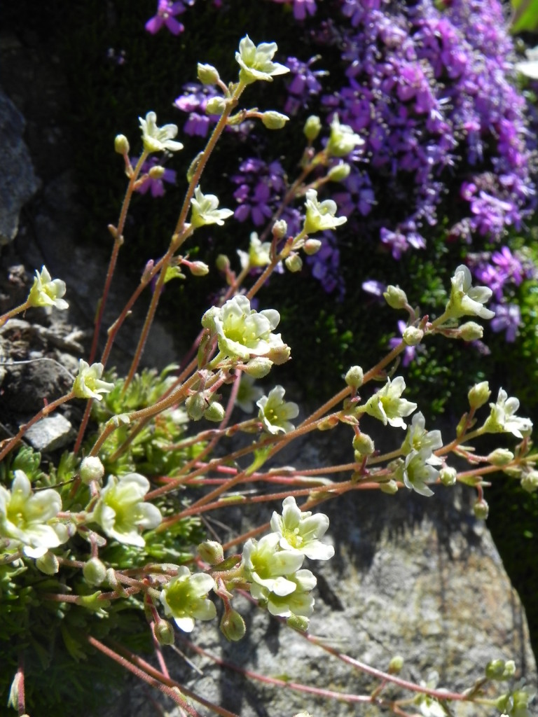 可憐に咲くユキノシタ。 コケマンテマのピンクを背景に 白が映える。