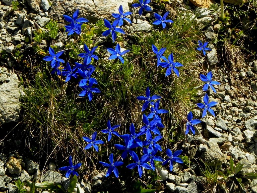 アルプスの山に咲いた、 蒼い星のプラネタリウム。 これもリンドウの一種。