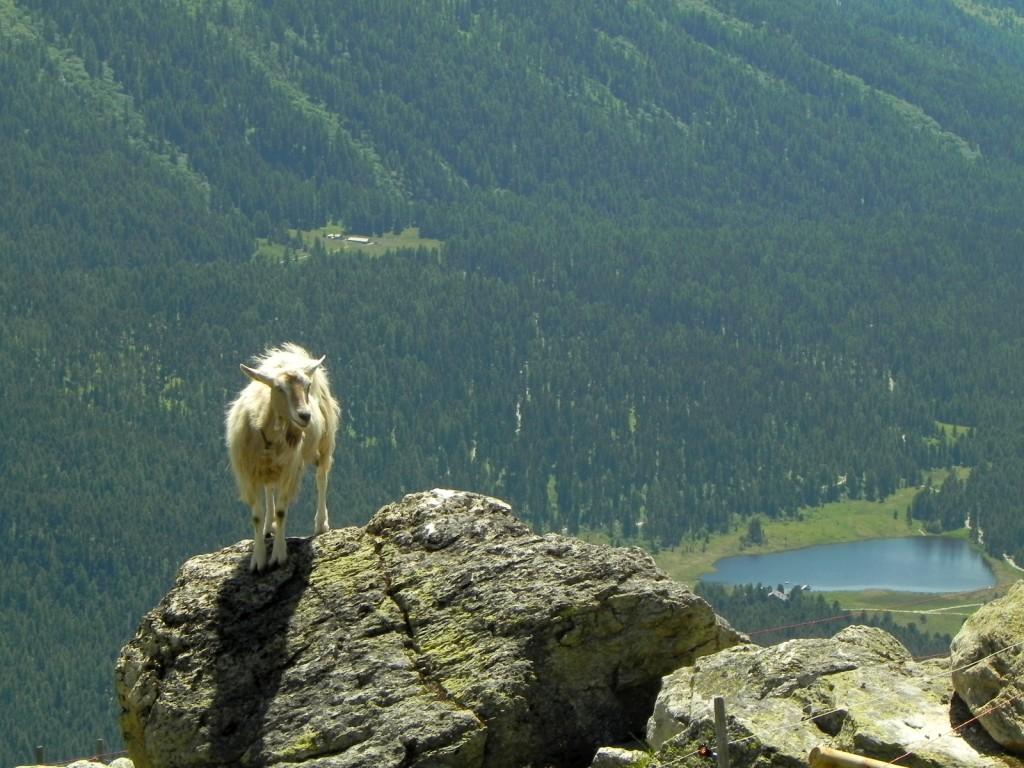 ハイキング最後には、 ワイルドな山羊が 迎えてくれました。