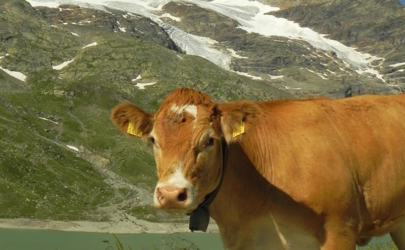 牛の行列に遭遇★…そしてどつかれる